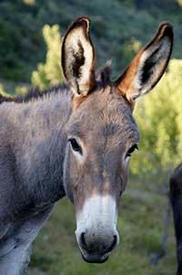 Provencal donkey
